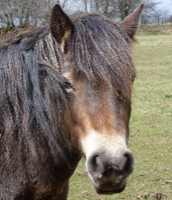 exmoor_pony_abbi_adoption
