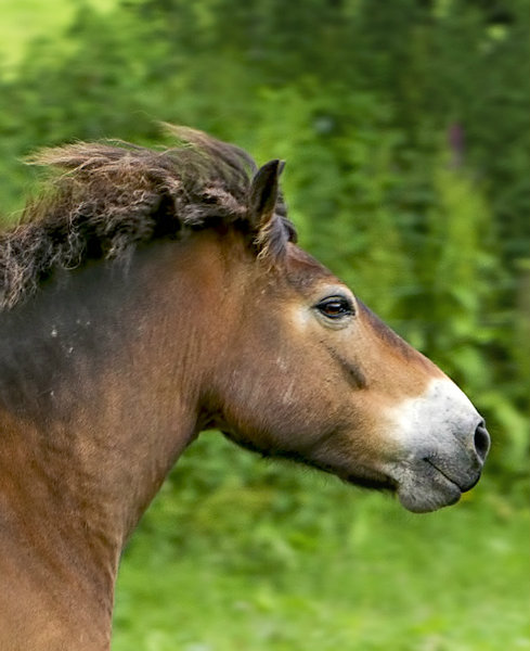 exmoor_pony_rama_adoption