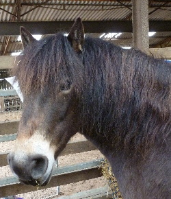 exmoor_pony_centre_adoption_tom